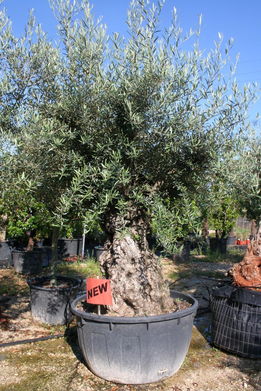 Expoplant acquista online olea europaea olivo for Piante olivo online