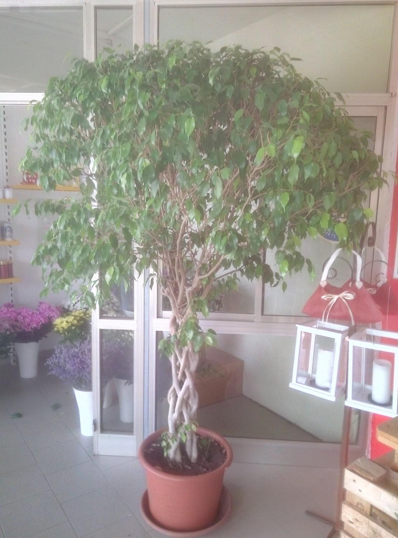 Ficus Pianta Da Interno O Esterno - The Homey Design