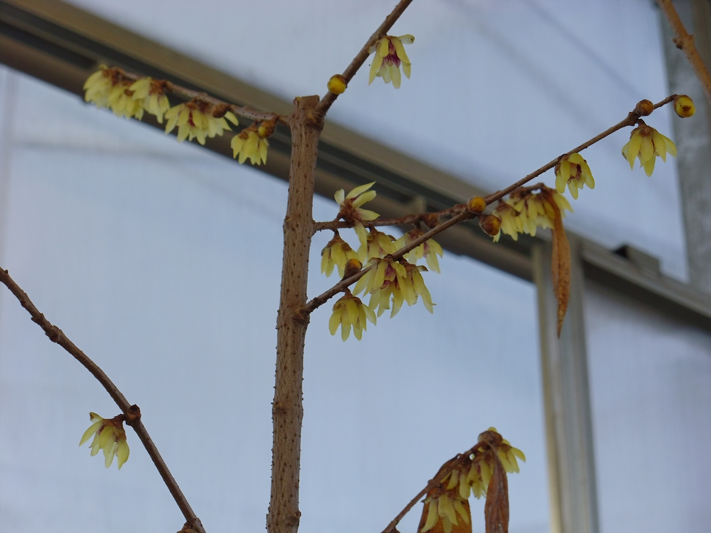 Calicanto Fiore D Inverno expoplant - acquista online: chimonanthus praecox
