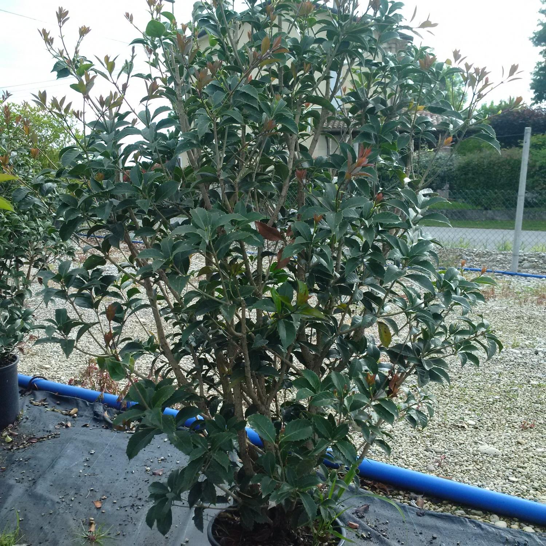 Expoplant acquista online osmanthus aquifolium osmanto - Osmanthus siepe ...