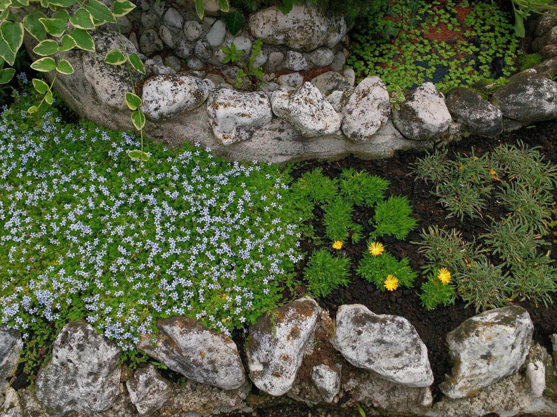 Fiori Tappezzanti Per Aiuole expoplant - acquista online: pratia pedunculata