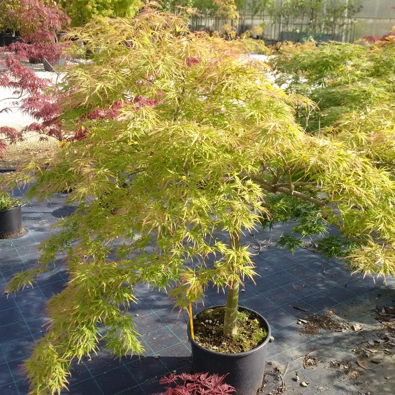 Acero Giapponese Verde expoplant - acquista online: acer palmatum dissectum viridis -