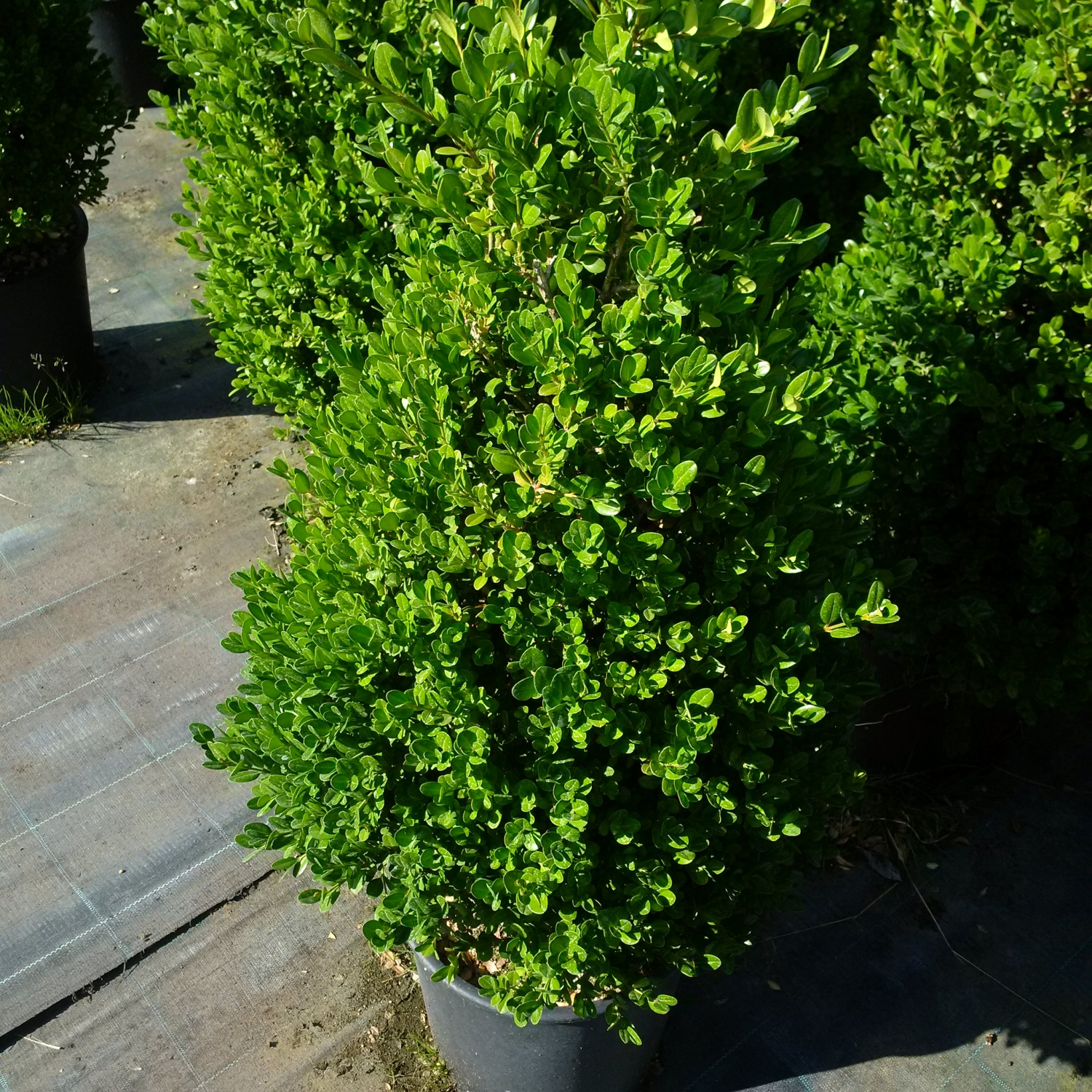 850dab9821 Expoplant - Acquista online: Buxus microphylla Faulkner - Bosso 'Faulkner'