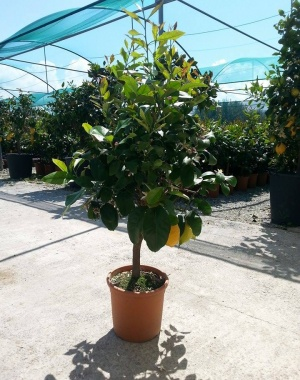 Expoplant vendita e acquisto online di piante arbusti for Comprare piante da frutto online