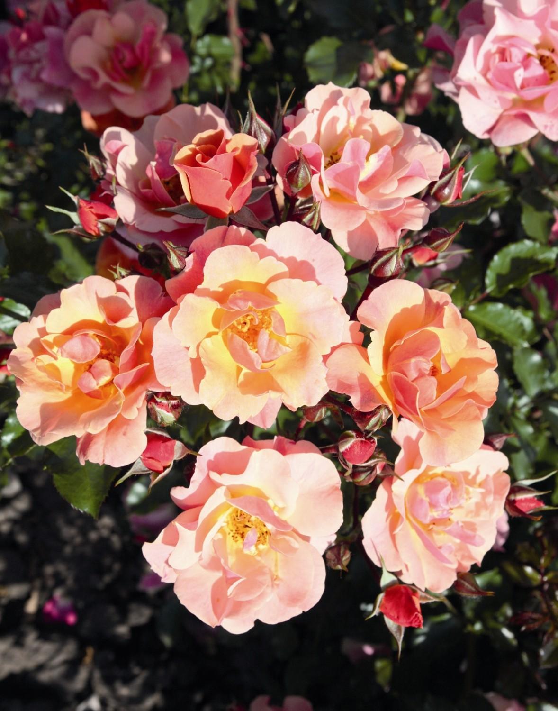 Rose Da Taglio Rifiorenti expoplant - acquista online: rosa jazz® - rosa