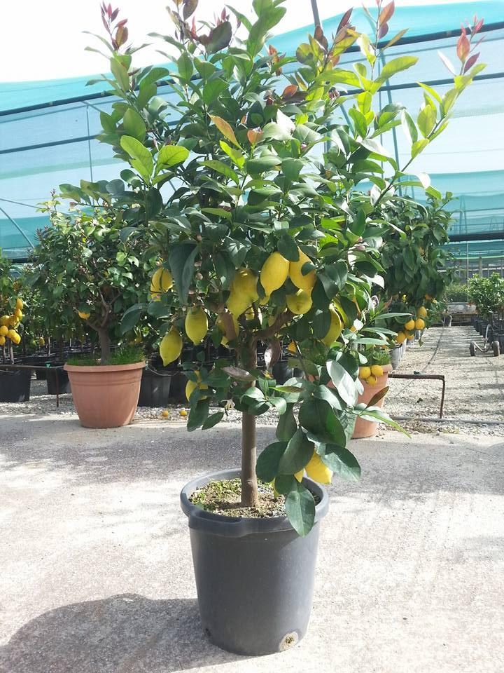 Expoplant acquista online citrus x limon lunario limone for Pianta di bosso prezzo