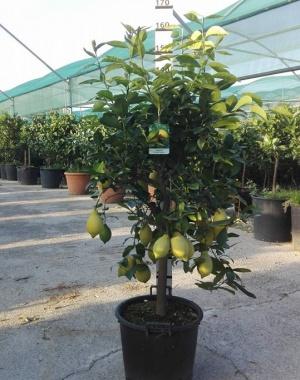 Expoplant acquista online citrus x limon lunario limone for Comprare piante da frutto online