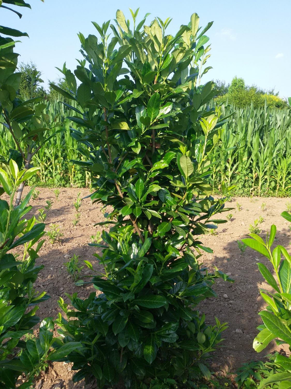 Expoplant acquista online prunus laurocerasus lauroceraso for Arbusti da siepe