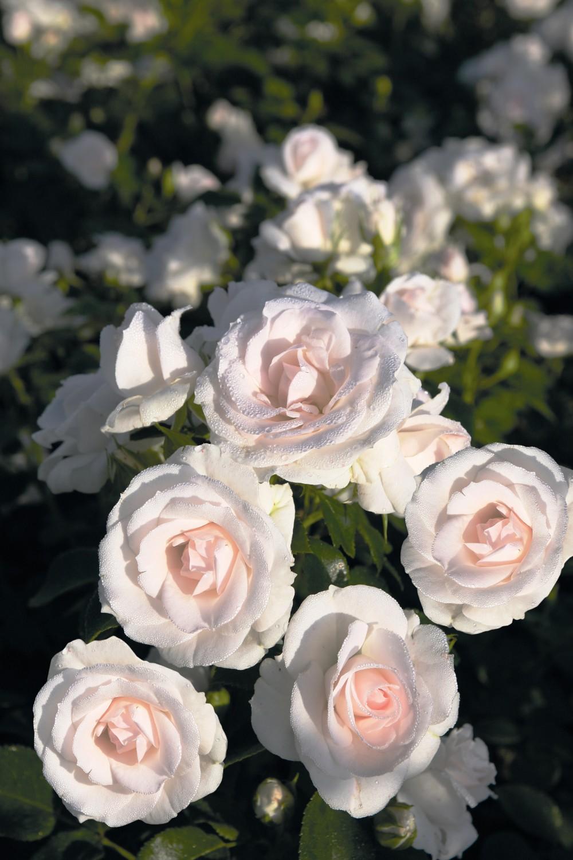 Rose Rampicanti Senza Spine expoplant - acquista online: rosa aspirin rose ® - rosa