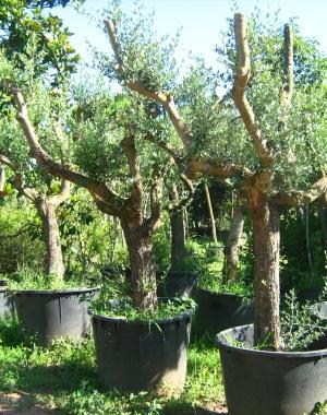 Expoplant vendita e acquisto online di piante arbusti for Piante da frutto online