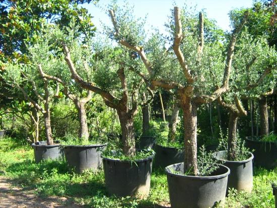 Expoplant acquista online olea europaea olivo for Comprare piante da frutto online
