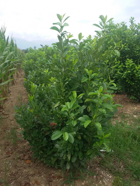 Expoplant acquista online prunus laurocerasus lauroceraso for Piante siepe sempreverde