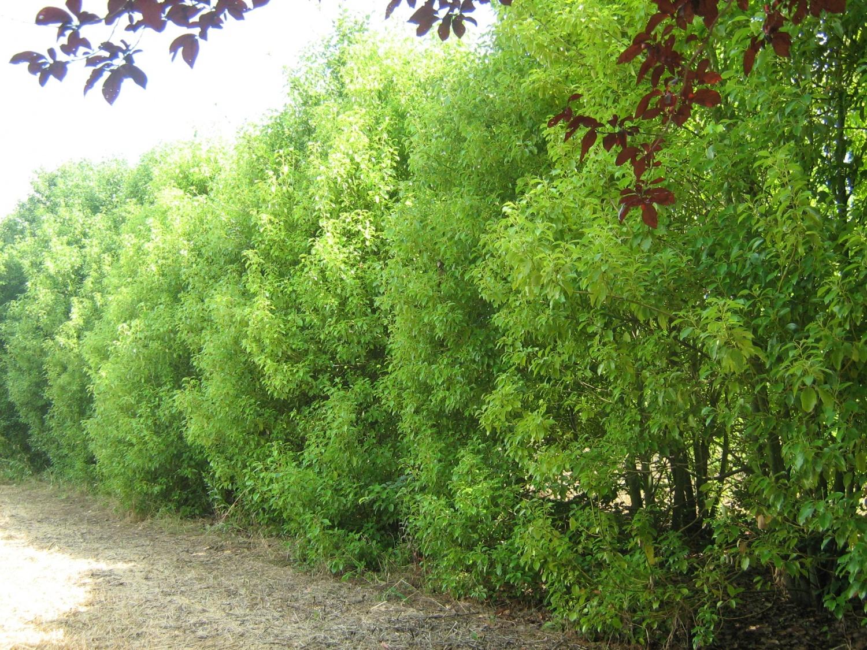 Prezzi Alberi Da Giardino expoplant - acquista online: cinnamomum camphora - albero