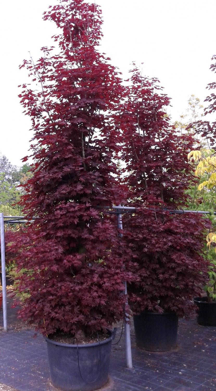 Expoplant acquista online acer platanoides crimson king for Acero riccio