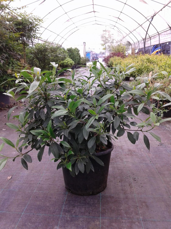Expoplant - Acquista online: Viburnum propinquum - Viburno