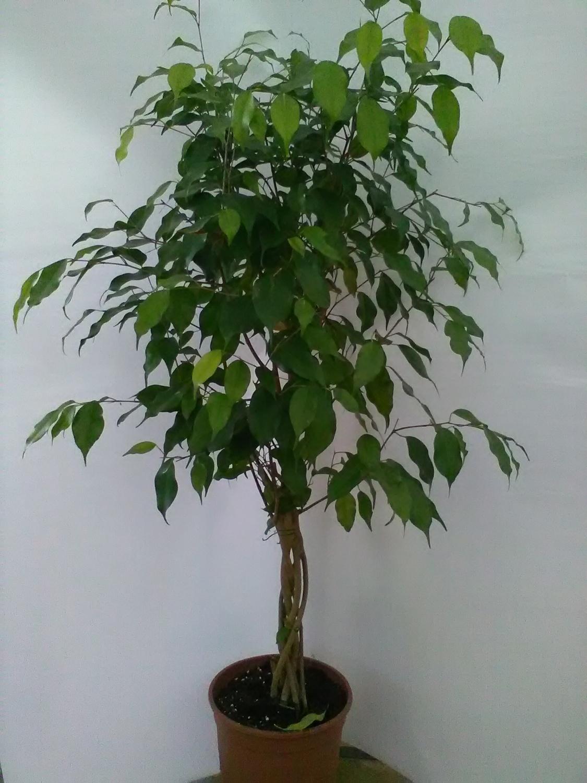 Piante Da Interno Ficus Benjamin  surabaya 2022