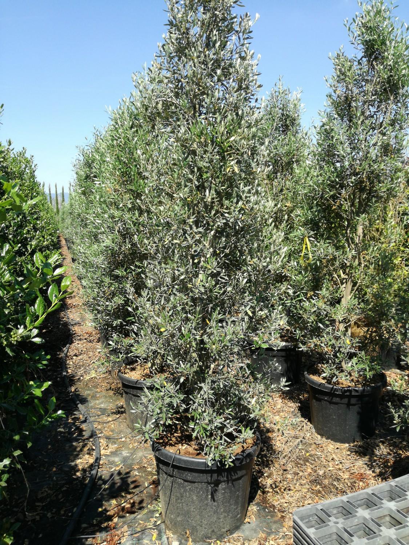 Expoplant acquista online olea europaea cipressino for Piante olivo online