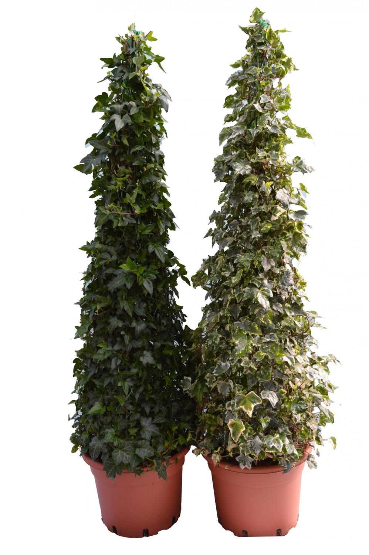 Edera Pianta Da Interno expoplant - acquista online: hedera helix sagittifolia - eva -