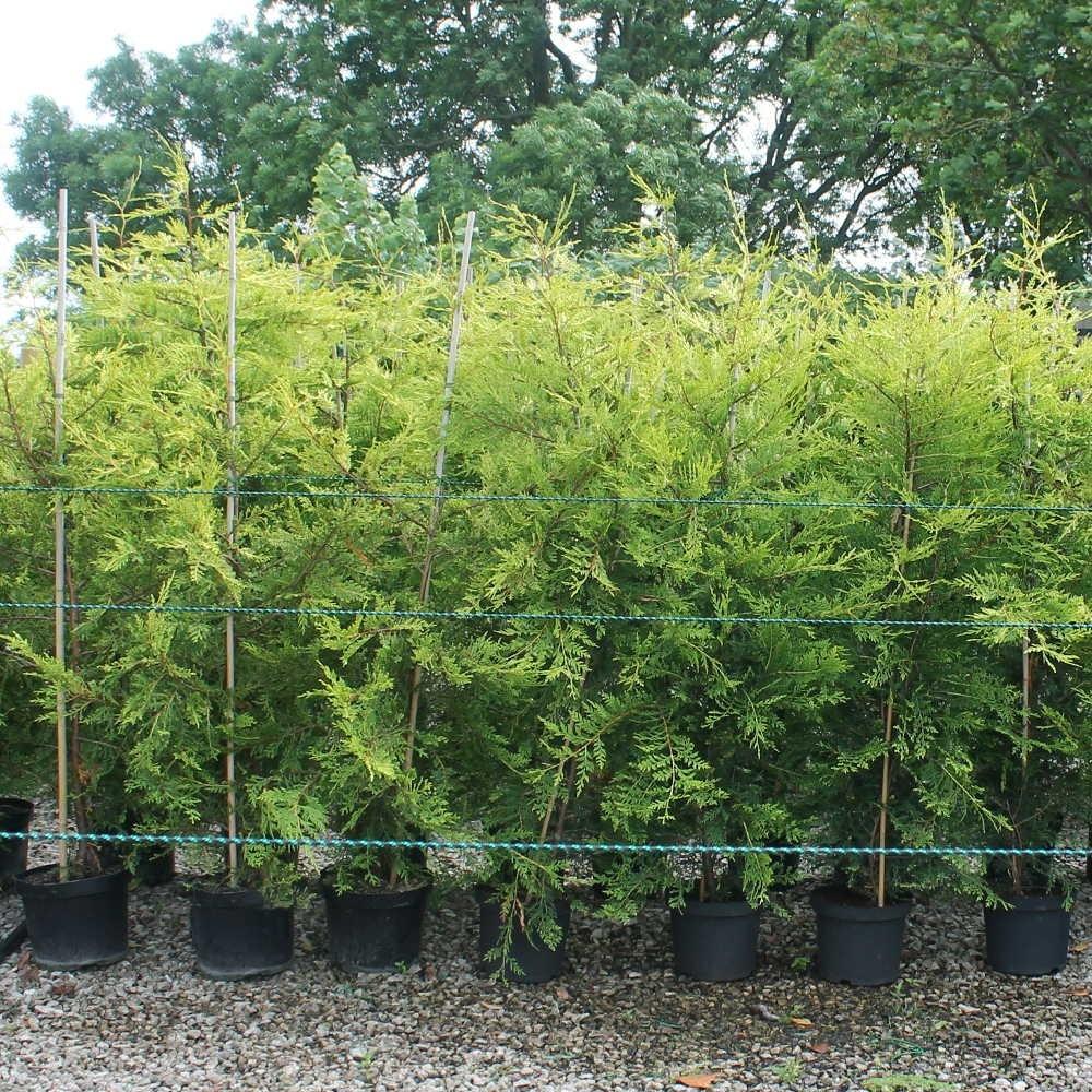Expoplant acquista online cupressocyparis leylandii for Cipresso leyland