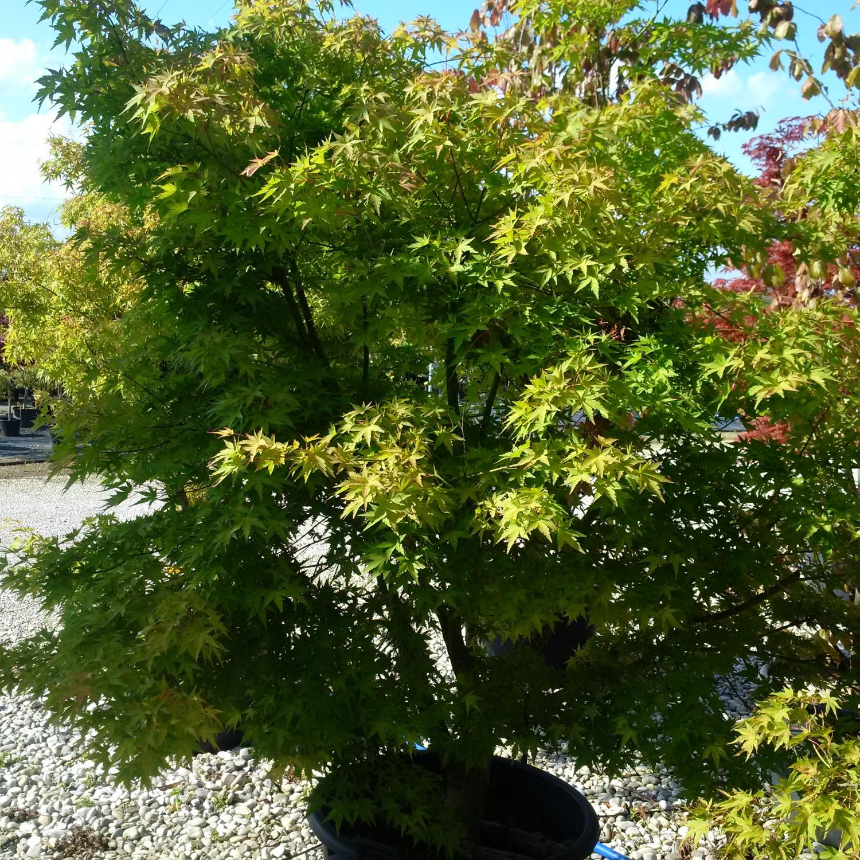 Acero Giapponese Verde expoplant - acquista online: acer palmatum -