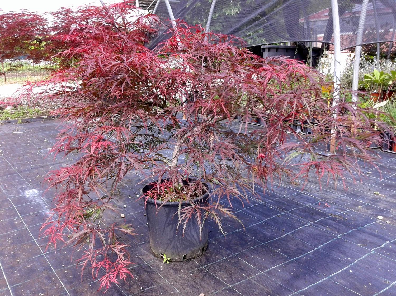Expoplant Acquista Online Acer Palmatum Dissectum Atropurpureum