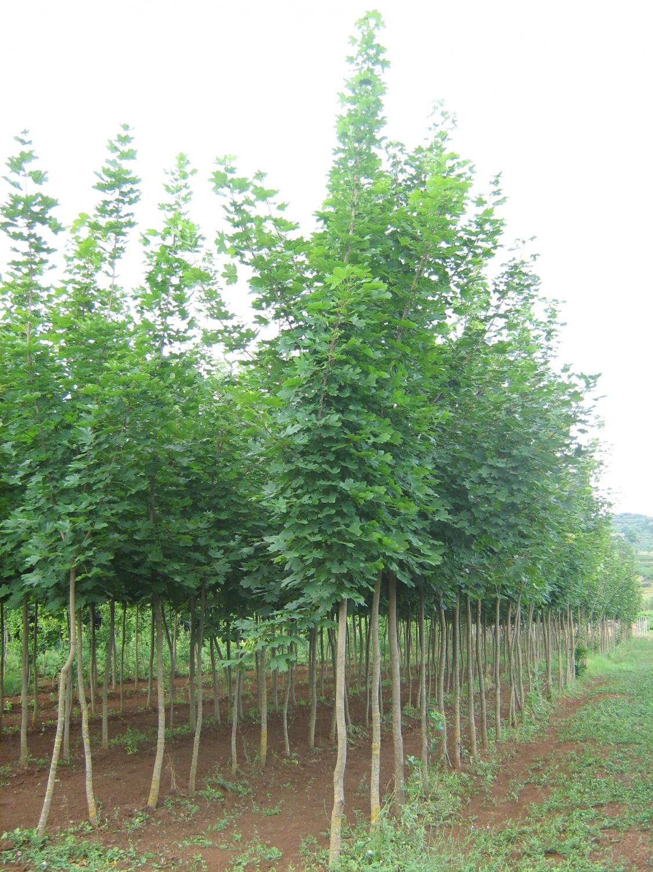 Expoplant acquista online acer platanoides acero riccio for Acero riccio