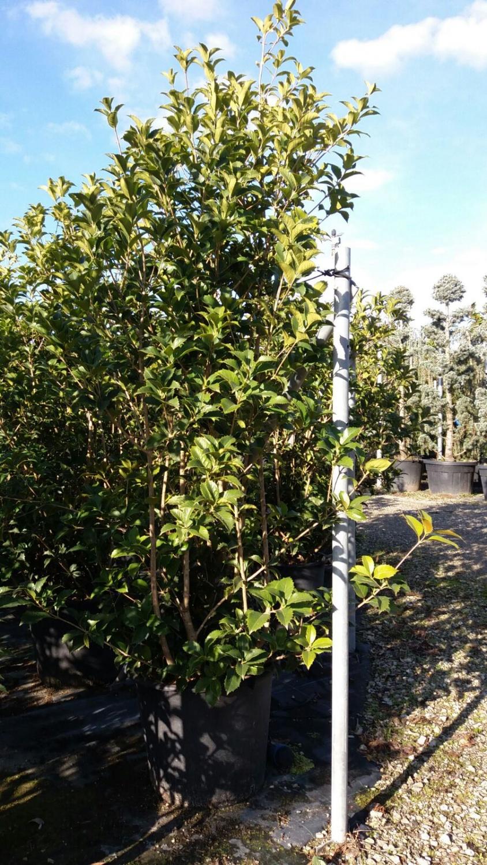 Expoplant - Acquista online: Osmanthus aquifolium - Osmanto